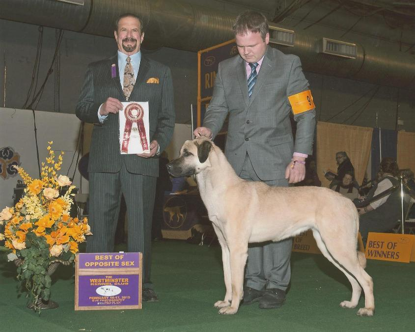 Angel - Anatolian Shepherd Dog