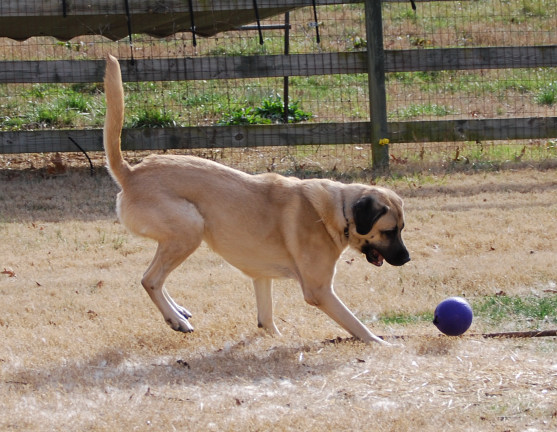 Anatolian Shepherd Dog - Skyview