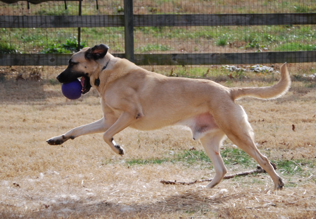 Count - 4 years Anatolian Shepherd